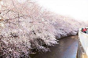 『石神井川』 春は桜並木が綺麗です。