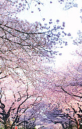 計画地目の前の桜並木 約10m(徒歩1分)