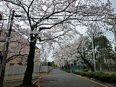その他日大前の桜並木まで1967m