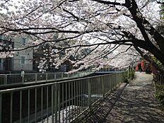 神田川沿いの桜並木
